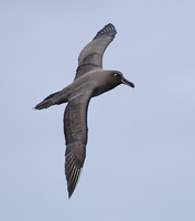 Sooty Albatross (Phoebetria fusca) photo