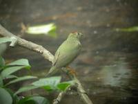 A juvenile Lance-tailed Manakin (Chiroxiphia lanceolata), which is often taken for Striped Manak...