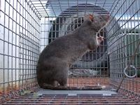 Gambian Rat in Cage