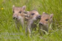 Three young wild boars in a clearing in the Wildwald Vosswinkel preserve stock photo