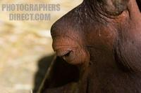 Photo of an Hippopotamus amphibius stock photo