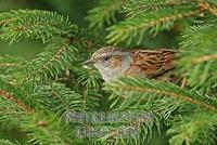 Dunnock , Prunella modularis stock photo