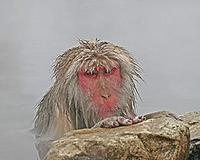 ...wildlife such as the wonderful Snow Monkeys (or Japanese Macaques) of Nagano in Japan (Pete Morr