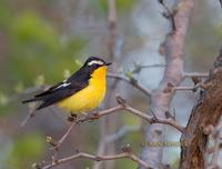 Yellow-rumped flycatcher C20D 03276.jpg