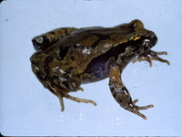 : Eupsophus roseus; Rosy Ground Frog
