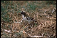 : Plocepasser mahali; White-browed Sparrow Weaver