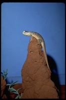 : Ctenophorus nuchalis; Central Netted Dragon