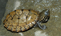: Sternotherus minor peltifer; Stripe-necked Musk Turtle