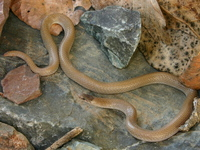 : Tantilla hobartsmithi; Smith's Black-headed Snake