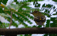 Yellow-rumped Flycatcher (F) (Ficedula zanthopygia)