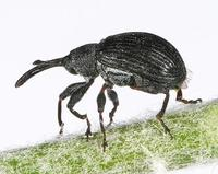 Anthonomus rubi - Strawberry blossom weevil