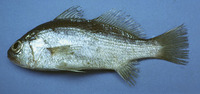 Bairdiella sanctaeluciae, Striped croaker: fisheries, bait