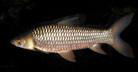 Leptobarbus hoevenii, Mad barb: fisheries, aquaculture, aquarium