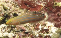 Amblygobius rainfordi, Old glory: aquarium