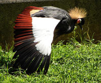 Image of: Balearica pavonina (black crowned-crane)