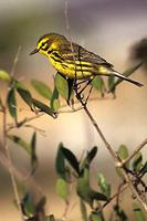 Image of: Dendroica discolor (prairie warbler)