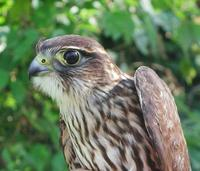 Image of: Falco columbarius (merlin)
