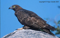 Oriental Honey-buzzard - Pernis ptilorhyncus