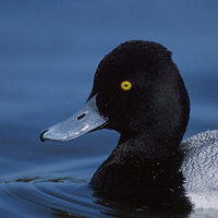 Lesser Scaup (Aythya affinis) photo
