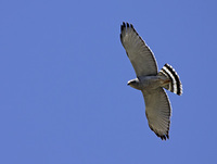 Gray Hawk (Asturina nitida) photo