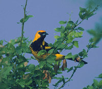 Spot-breasted Oriole (Icterus pectoralis) photo