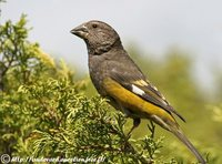 White-winged Grosbeak - Mycerobas carnipes