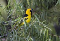 White-edged Oriole - Icterus graceannae