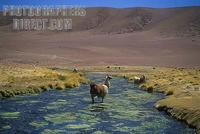 Lhamas in the river . Atacama Desert , Chile , South America . stock photo