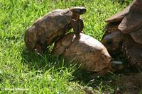 Three tortoises getting friendly