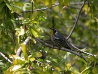 : Dendroica dominica albilora; Yellow-throated Warbler