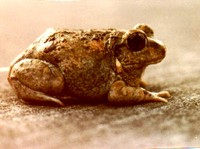 : Tomopterna breviceps; Toad Frog