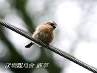 Prunella fulvescens Brown Accentor 褐岩鷚 119-034