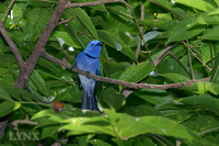 Black-naped Monarch 黑枕王鶲
