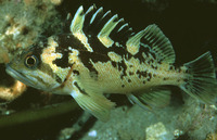Sebastes chrysomelas, Black-and-yellow rockfish: