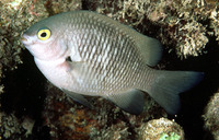 Stegastes fasciolatus, Pacific gregory: fisheries