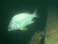 Acanthopagrus latus, Yellowfin seabream: fisheries, aquaculture