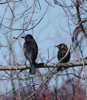 Image of: Euphagus carolinus (rusty blackbird)