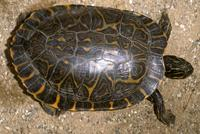 Image of: Pseudemys concinna (river cooter)