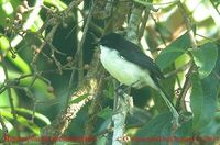 Black-headed Sibia - Heterophasia melanoleuca