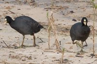 Red-gartered Coot - Fulica armillata