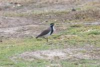 Banded Lapwing - Vanellus tricolor