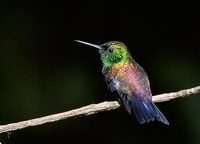 Copper-rumped Hummingbird (Amazilia tobaci) photo