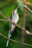 Scale-throated Hermit - Phaethornis eurynome