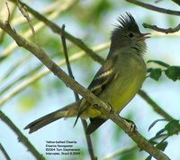 Yellow-bellied Elaenia - Elaenia flavogaster
