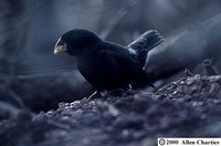 Large Ground-Finch - Geospiza magnirostris