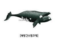 북방긴수염고래 northern right whale  Eubalaena glacialis