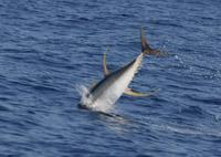 Yellowfin tuna leaping in association with feeding pantropical spotted dolphins (c) A.B. Douglas...
