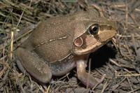 : Cyclorana novaehollandiae; New Holland Frog