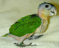 Black-Headed Caique (Pionites melanocephala)