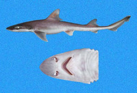Mustelus whitneyi, Humpback smooth-hound: fisheries, gamefish
